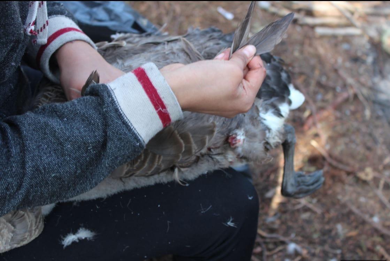 Plucking Goose