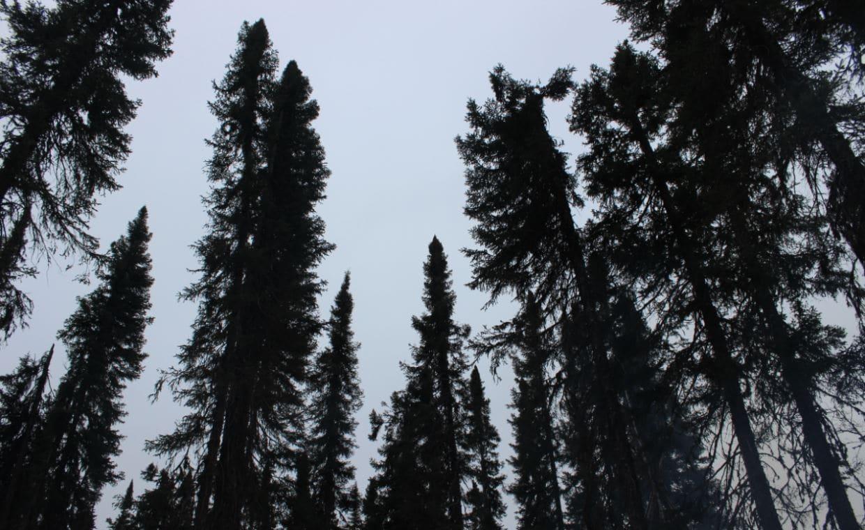 Webequie Trees